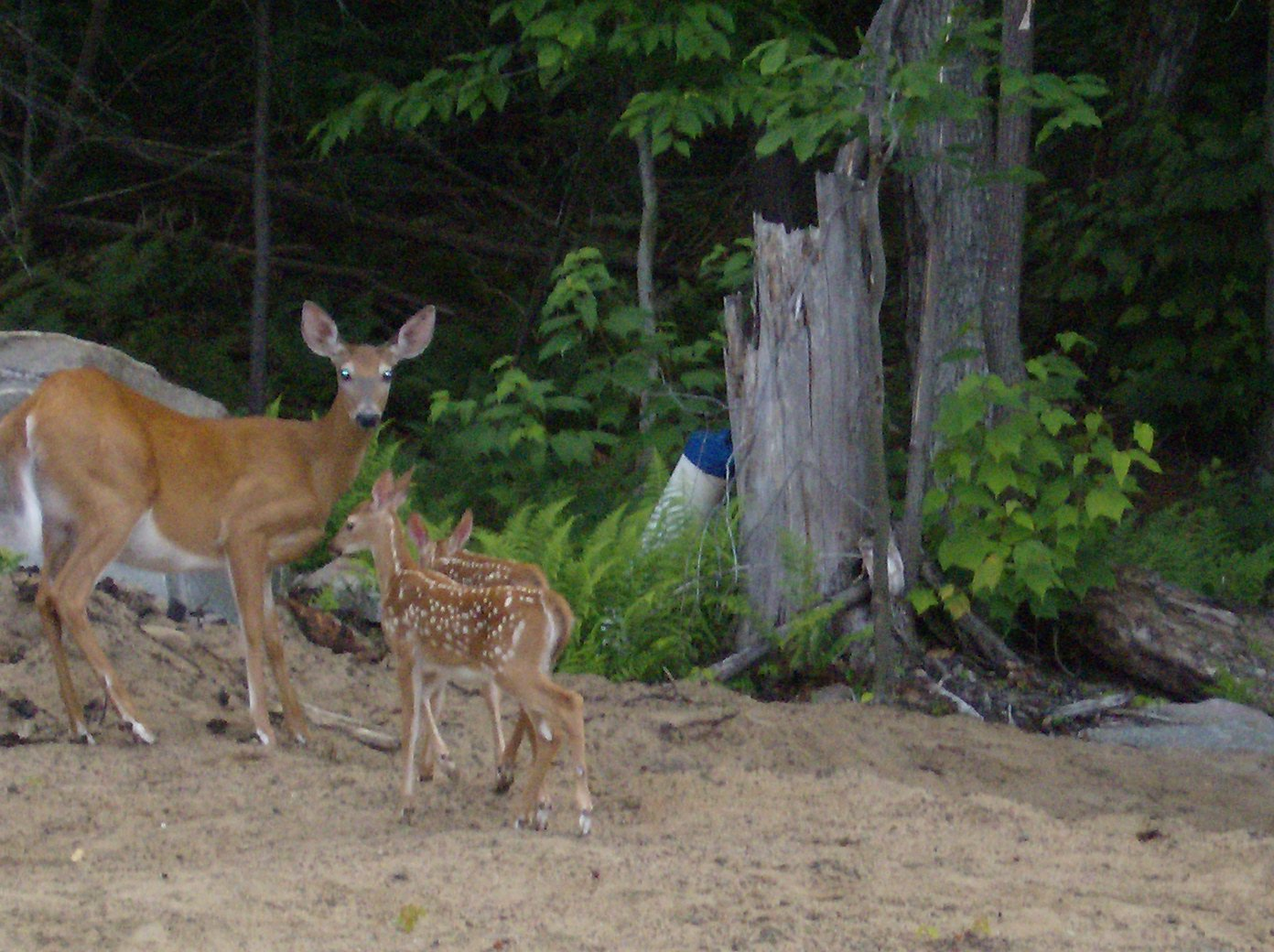 old_forge_adirondack_lvl_deer and fawns.JPG